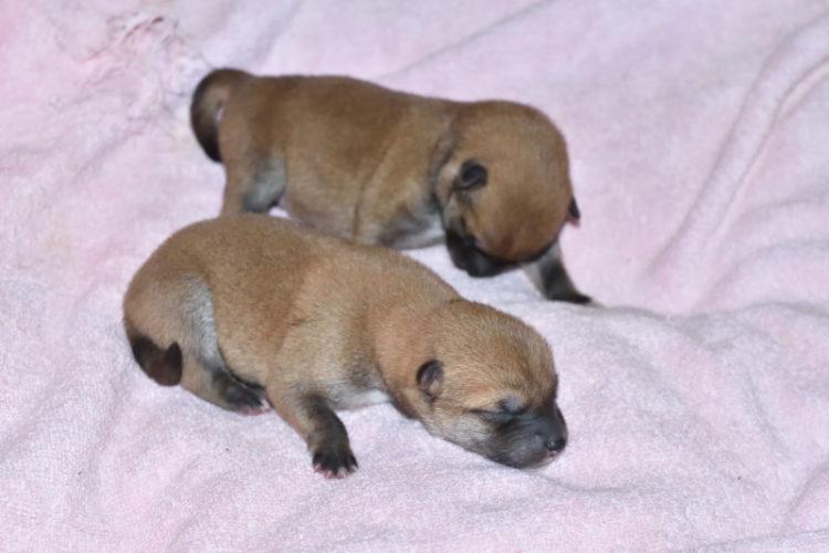 生後2日目のオスの子犬