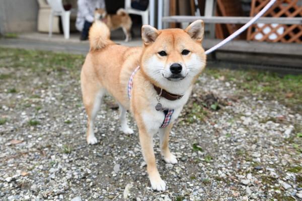 もうすぐ2歳になる柴犬柚子ちゃん