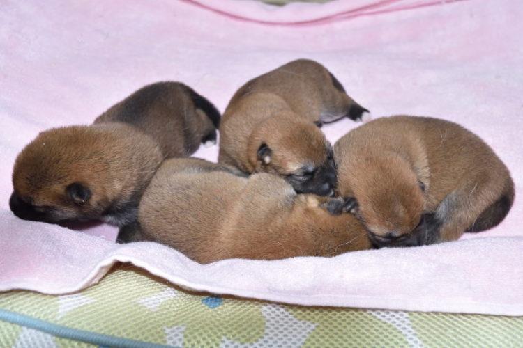 生後6日目の柴犬の子犬4匹