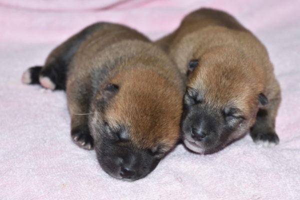 生後6日目の柴犬メスの子犬2匹