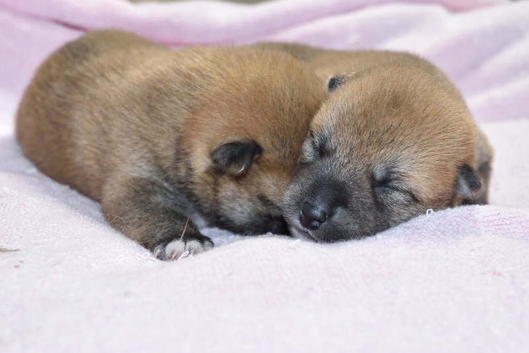 柴犬の赤ちゃんの写真