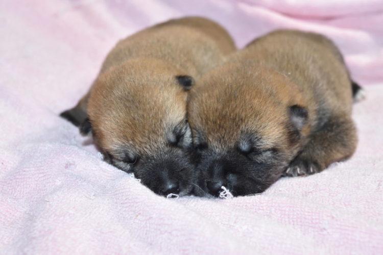 生後9日目の赤柴メスの子犬2匹