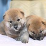 柴犬の子犬は生後26日目です♪【柴犬美里の子】