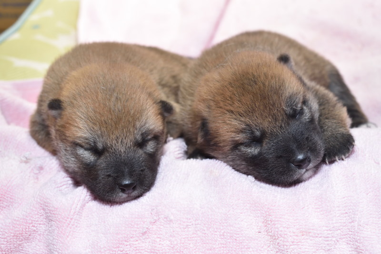 生後12日目の柴犬メスの子犬の写真