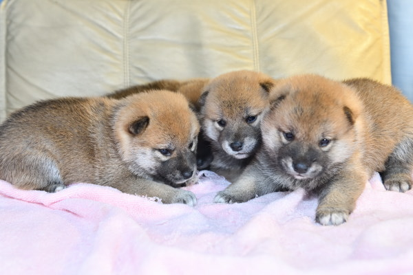 生後27日目の柴犬の子犬たちの写真