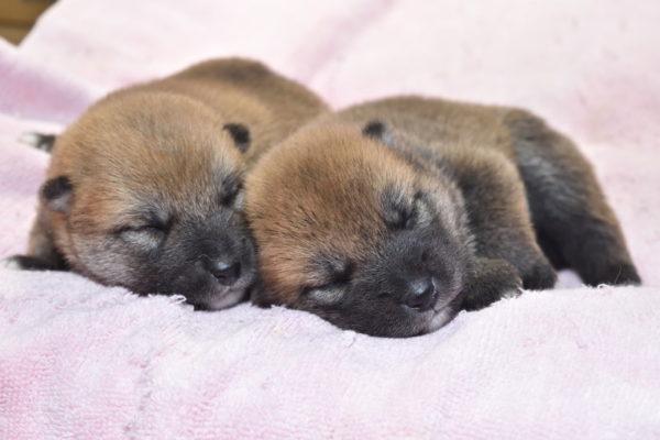 生後12日目の柴犬メスの子犬2匹