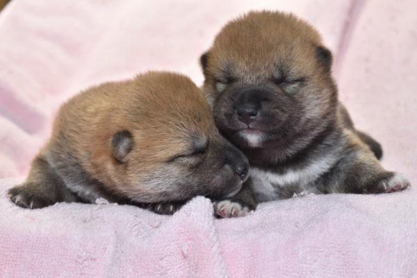 生後12日目の柴犬オスの子犬