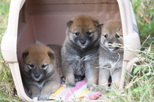引きこもる柴犬の子犬たちの写真です。