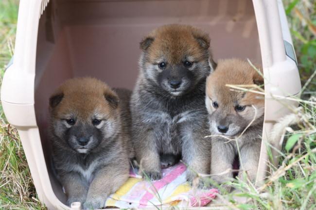 初めての外の柴犬の子犬たちの写真