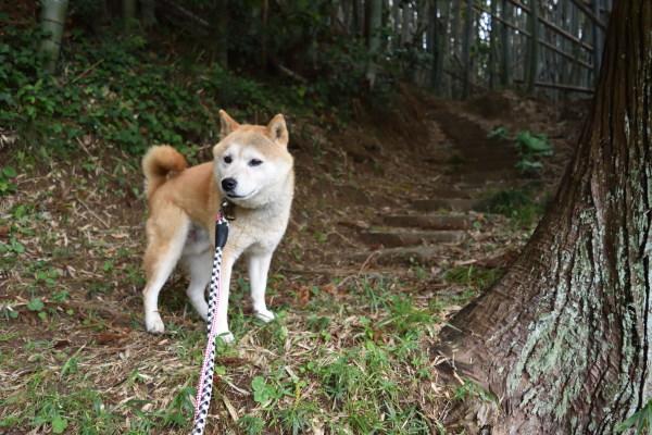 柴犬と大きな杉