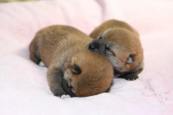 寝続ける柴犬の子犬