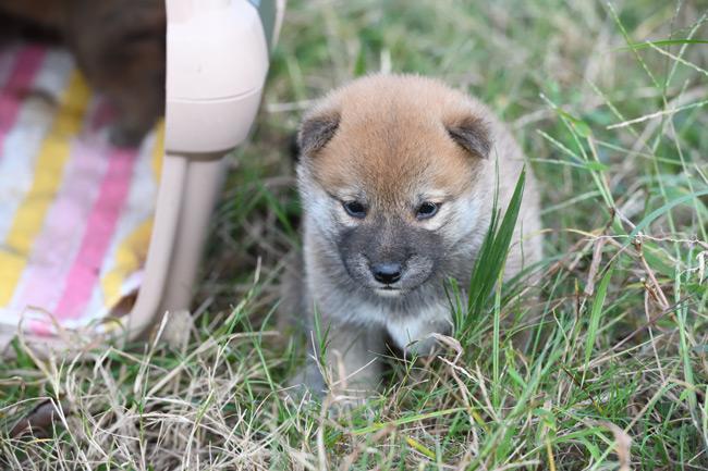 生後30日目の柴犬の子犬の写真