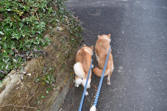 娘の桜姫と一緒に散歩するかわちゃん