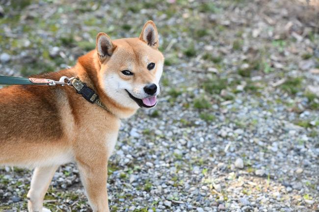 柴犬モグちゃん