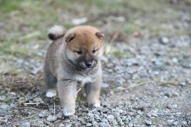 生後34日目の柴犬の子犬