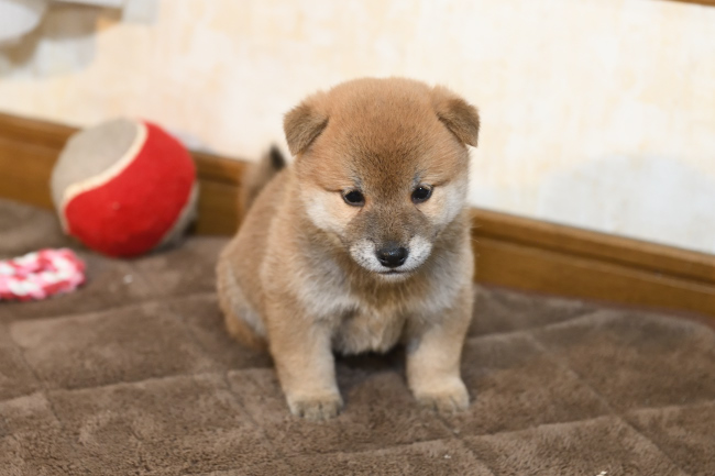 柴犬の子犬の写真