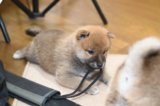 遊ぶ柴犬の子犬