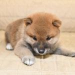 柴犬の子犬は38日目です♪【赤柴美里の子】