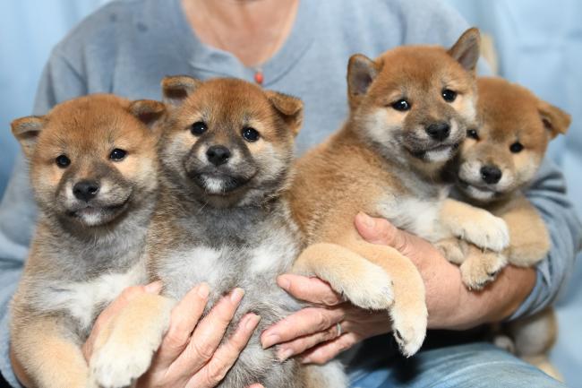 4兄妹の柴犬の子犬