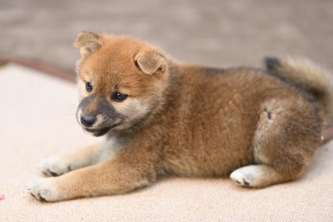 柴犬オスの子犬の写真