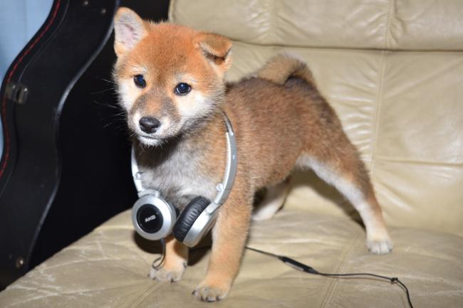 ヘッドフォンを付ける?赤柴の子犬