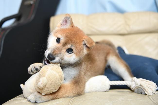 オモチャで遊ぶ柴犬の子犬