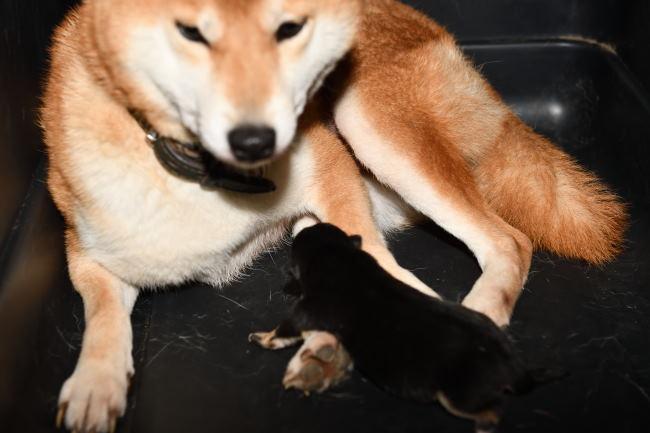 柴犬ムギとその子犬