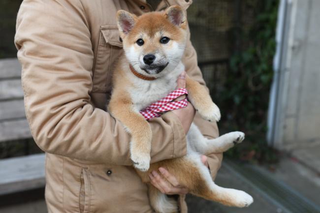 生後約3か月の柴犬陽ちゃん