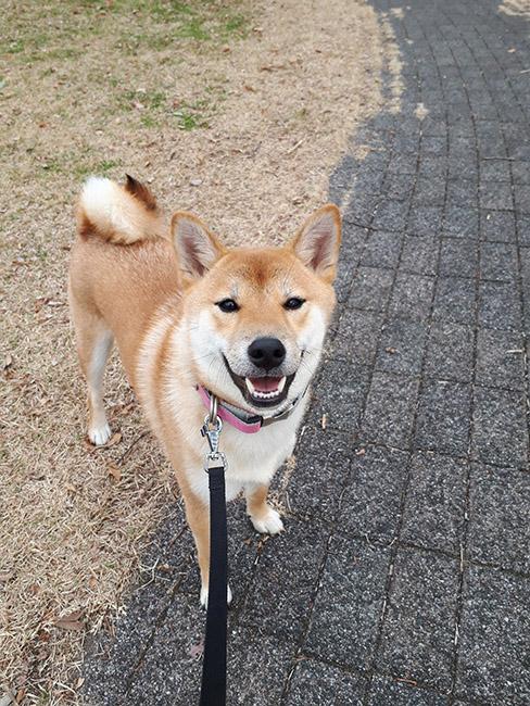 柴犬花ちゃん1歳