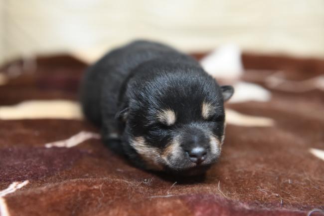 生後9日目の黒柴メスの子犬