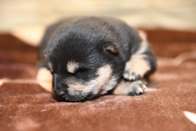 生後11日目の黒柴メスの子犬