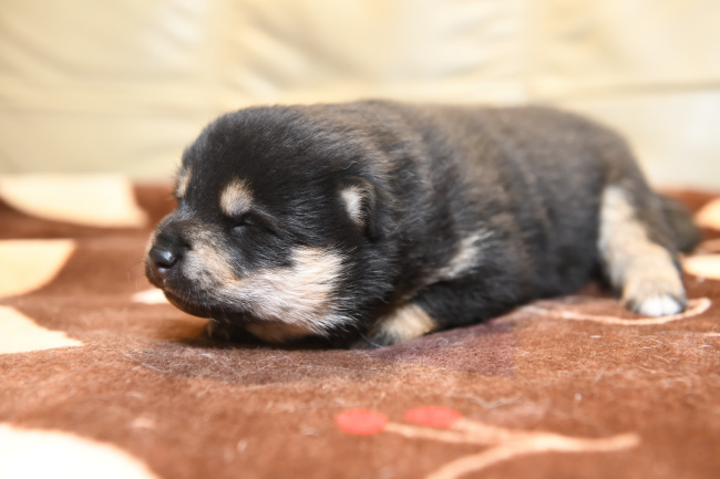 生後14日目の黒柴メスの子犬