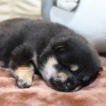 目が開きました‼黒柴メスの子犬は18日目です♪