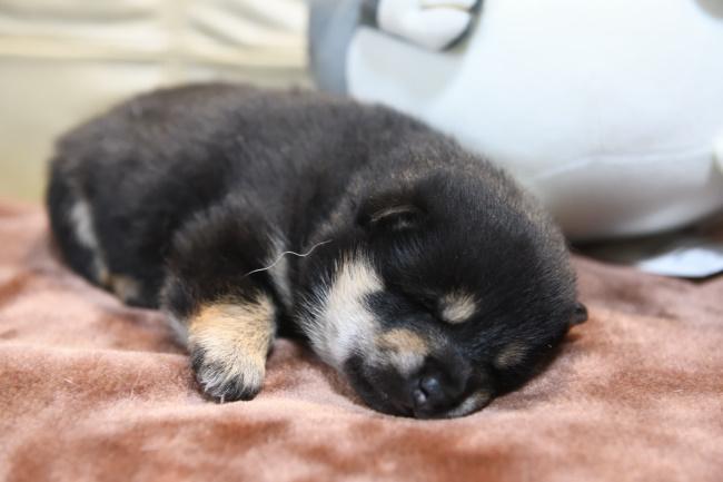 目が開いたばかりの黒柴メスの子犬