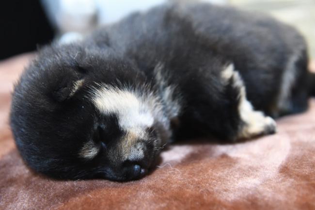 生後19日目の黒柴メスの子犬