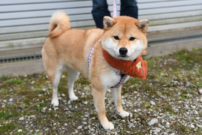 赤柴柚子ちゃんの写真