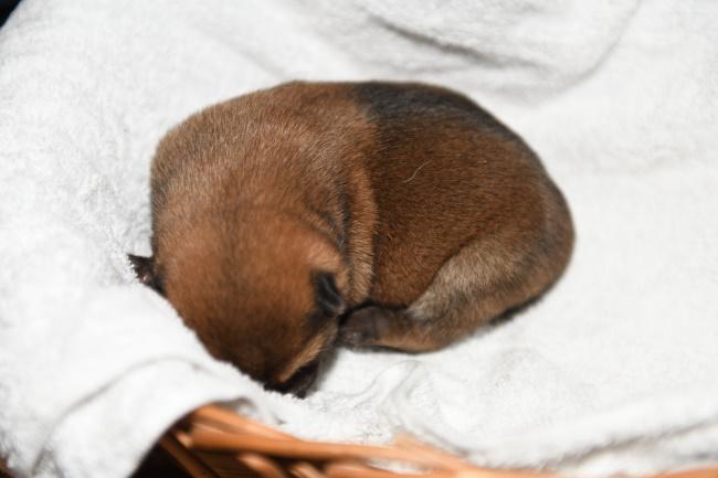 生後6日目の柴犬オスの子犬