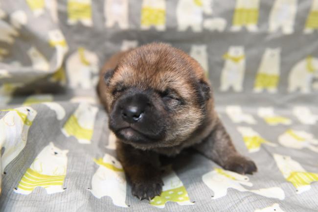 生後13日目の柴犬オスの子犬の写真