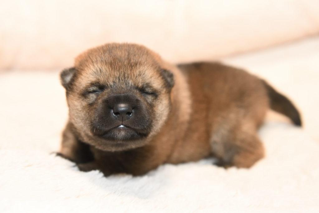 生後15日目の柴犬のオスの写真