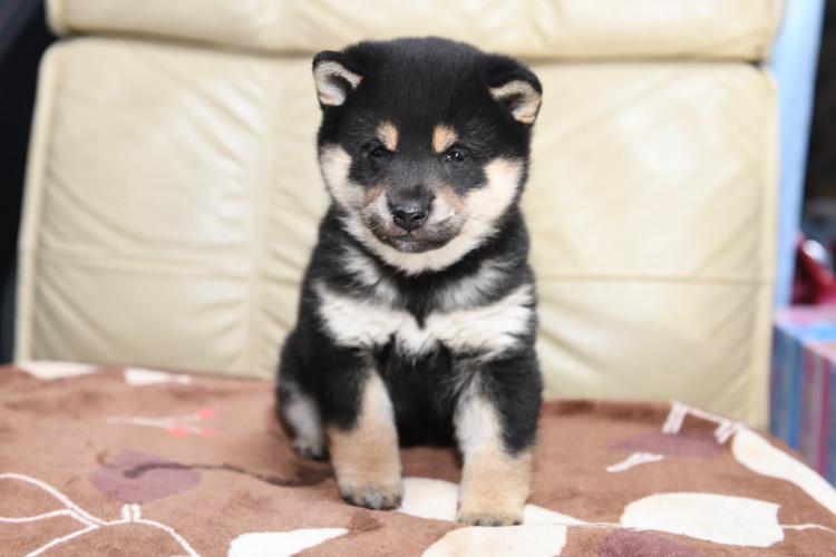 黒柴メスの子犬の写真