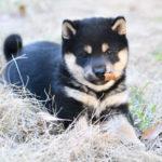 黒柴の子犬の写真です♪【赤柴ムギの子】
