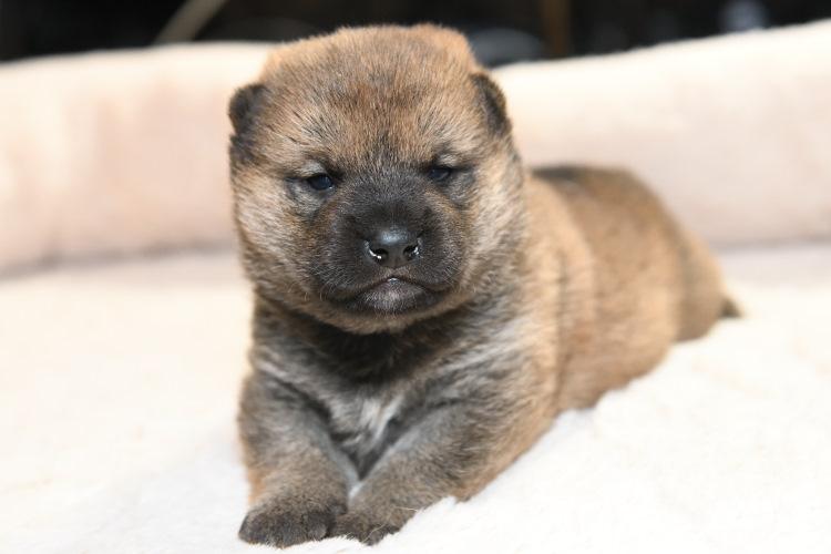 生後20日目の赤柴オスの子犬の写真です。