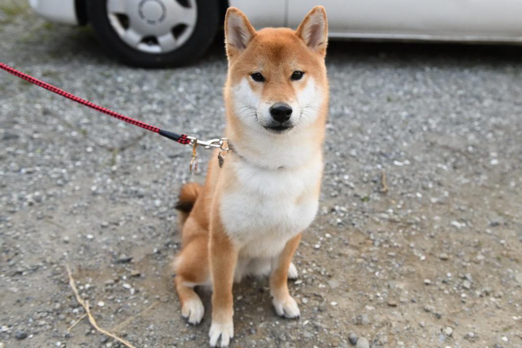 柴犬ポッケ君の写真