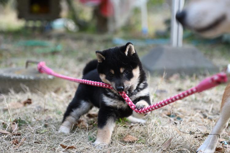 黒柴の子犬の写真です。