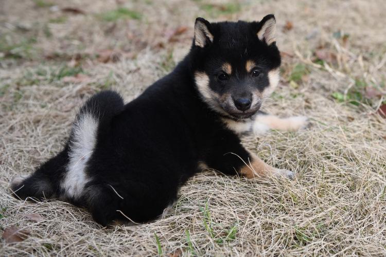 可愛い黒柴の子犬の写真です。