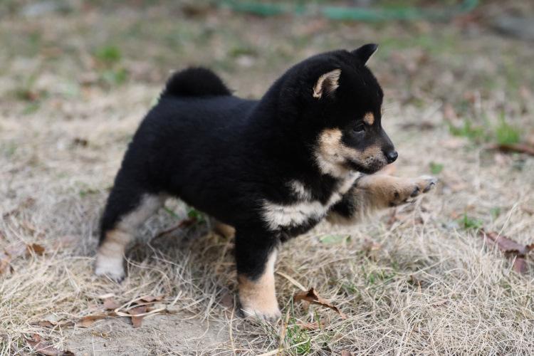 テクテク歩きの柴犬の子犬の写真です。