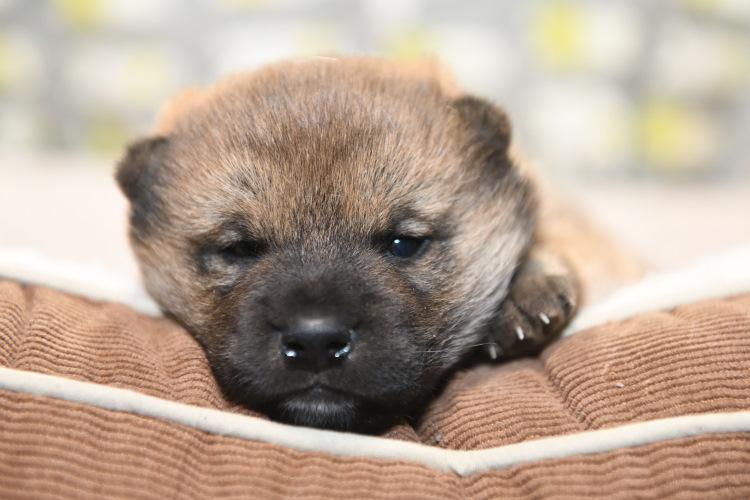 眠たい柴犬の子犬の写真。