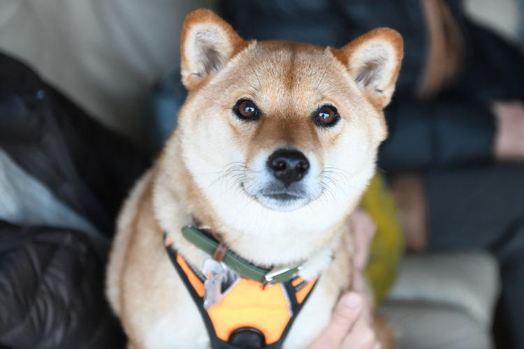柴犬チャチャちゃんの写真