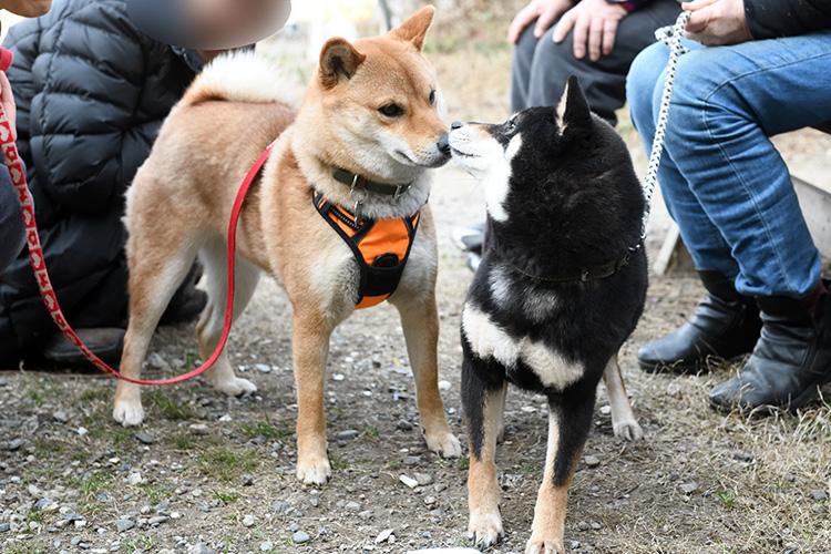 柴犬の親子の再会シーンの写真