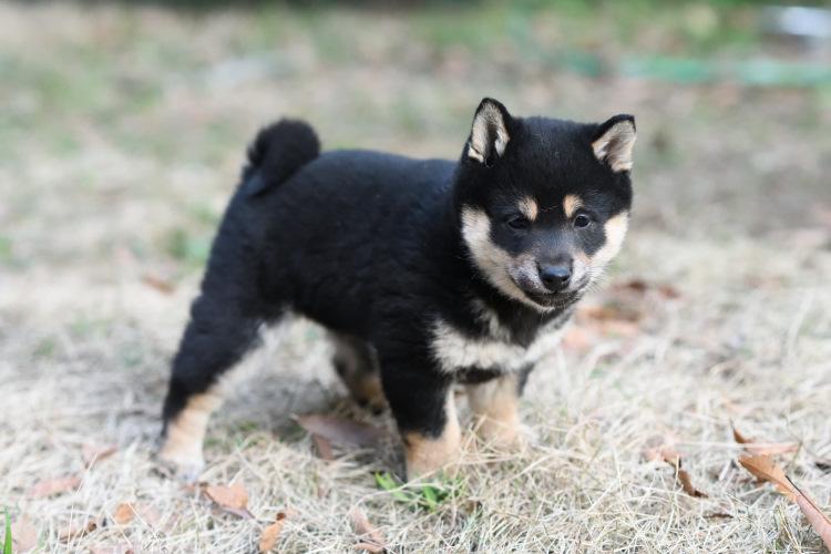 生後49日目の黒柴メスの子犬の写真